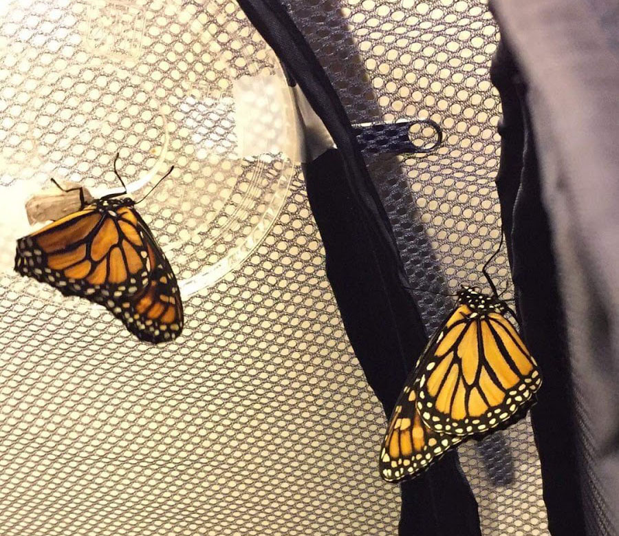One APES project, The Butterfly Effect, seeks to increase monarch populations.